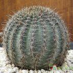 Echinopsis haematantha