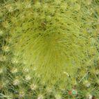 Parodia haselbergii ssp. graessneri