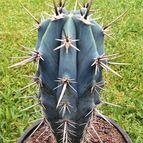 Pachycereus tepamo