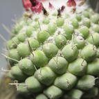 Mammillaria polythele fma. inermis