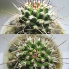 Mammillaria carnea