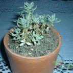 Sedum lineare fma. variegada