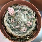 Mammillaria aureilanata
