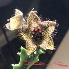 Caralluma crenulata x hexagona