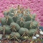 Coryphantha retusa