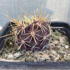 cactus-43923