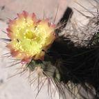 45019 cactus