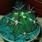 Collecion de cactusorgano