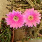 Collecion de cactuspino