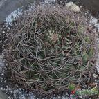 Collecion de cariocactus