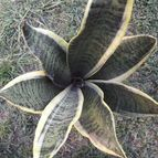 Sansevieria trifasciata