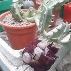 Orbeopsis melanantha