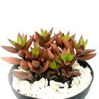 Lenophyllum texanum