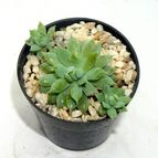 Graptopetalum macdougallii