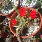 Collecion de floritagigli