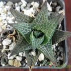 Collecion de haworthia2