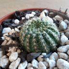 leandrocactus-43251