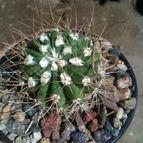 Collecion de loco_cactus