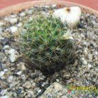 Mammillaria glochidiata