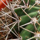 Echinopsis leucantha