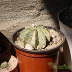 Collecion de mendozacactus