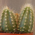 Pilosocereus azulensis