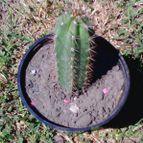 Echinopsis macrogona