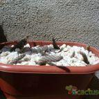 Collecion de ovejus