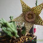 Collecion de patycactus07
