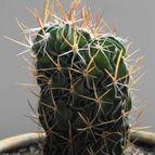 Stenocactus ochoterenianus