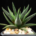 Haworthia fasciata cv. concolor
