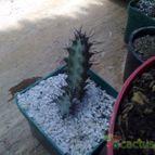 Euphorbia greenwayi