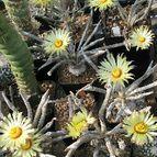 Climbing_Cactus