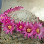 cactus-es
