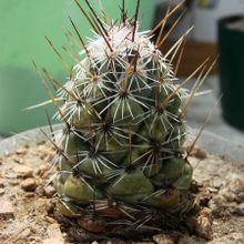 Coryphantha pulleineana