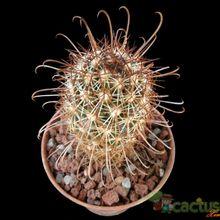 Mammillaria capensis