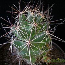 Coryphantha macromeris