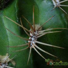 Echinopsis cinnabarina