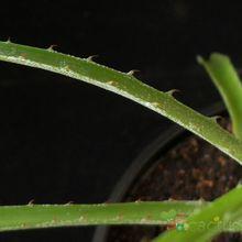 Aloe chortolirioides