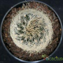 Sulcorebutia tarabucoensis