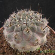 Eriosyce crispa ssp. atroviridis