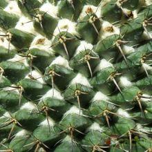 Mammillaria karwinskiana subsp. karwinskiana