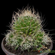 Mammillaria decipiens ssp. albescens