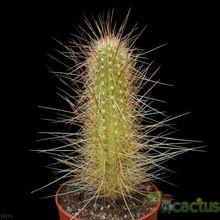 Echinopsis tarijensis