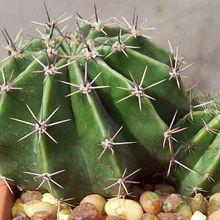 Echinopsis rhodotricha