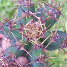 Cereus forbesii