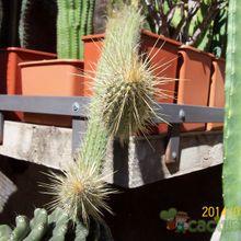 Cleistocactus baumannii ssp. santacruzensis