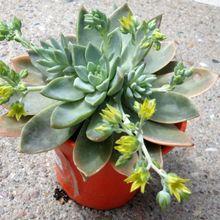 Graptoveria Waterlily