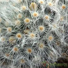 Mammillaria albicoma