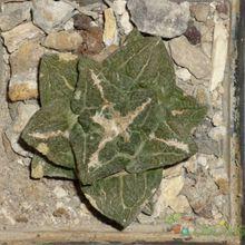 Ariocarpus fissuratus subsp. fissuratus